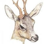 Deer - Mosney Mill