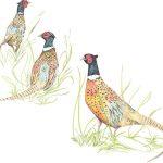 Pheasant - Mosney Mill